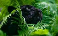 Panther160179